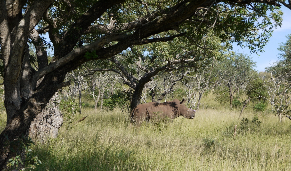 How chopping off Rhino horns can save their lives