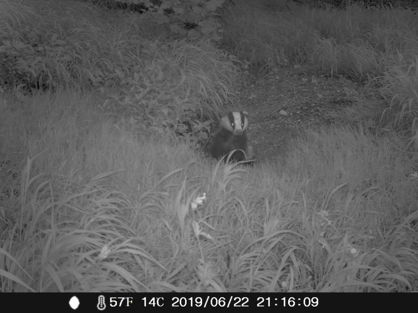 Badger nightcam